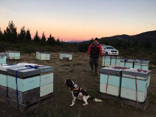 AFB Detector Dog Flynn working bee hives